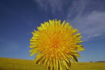 gelbe Blume vor blauem Himmel